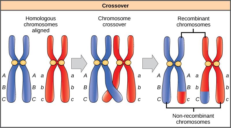 весь 3 перекрест хромосом происходит чрезвычайно